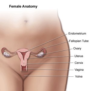 Diagram of female anatomy