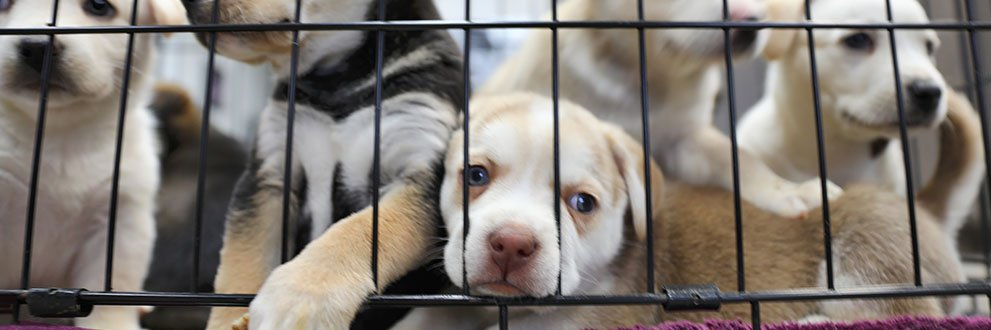 Puppies in a kennel